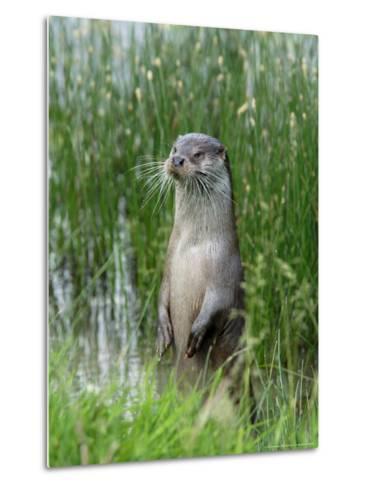 European Otter, Standing on Hind Legs at Waters Edge, Sussex, UK-Elliot Neep-Metal Print