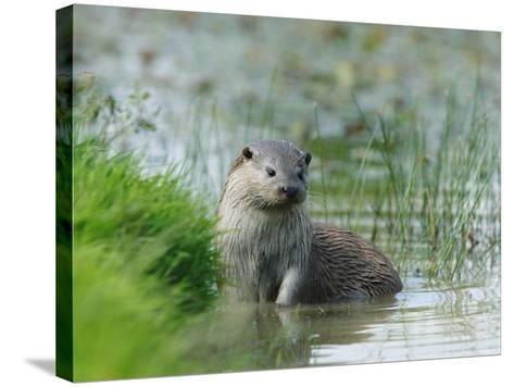European Otter, Standing in Shallows, Sussex, UK-Elliot Neep-Stretched Canvas Print