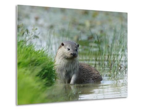 European Otter, Standing in Shallows, Sussex, UK-Elliot Neep-Metal Print