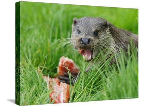 European Otter, Eating Salmon in Grass, Sussex, UK-Elliot Neep-Stretched Canvas Print