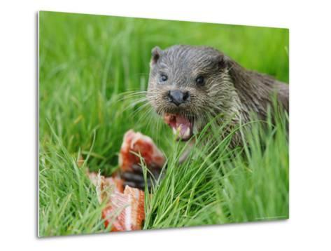 European Otter, Eating Salmon in Grass, Sussex, UK-Elliot Neep-Metal Print