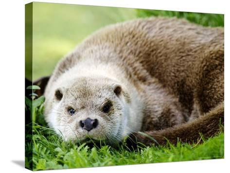 Otter, Close up of Female Otter in Grass, Earsham, UK-Elliot Neep-Stretched Canvas Print