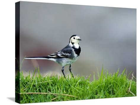 Pied Wagtail, Standing in Grass, Scotland-Elliot Neep-Stretched Canvas Print