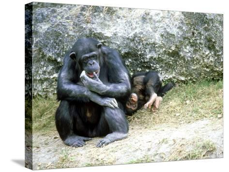 Chimpanzee, Mother & Baby, Zoo Animal-Stan Osolinski-Stretched Canvas Print