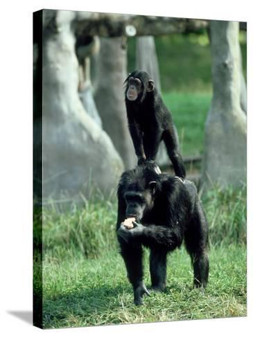 Chimpanzee, Baby Stands on Mothers Back, Zoo Animal-Stan Osolinski-Stretched Canvas Print