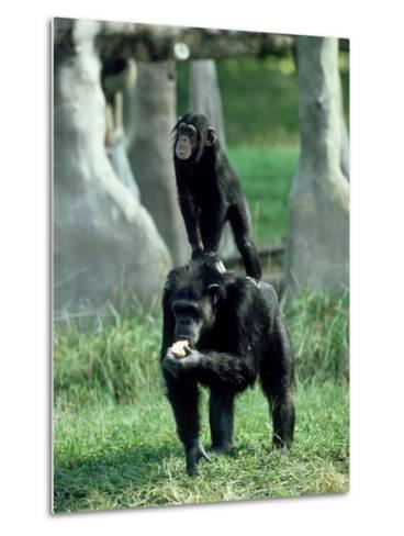 Chimpanzee, Baby Stands on Mothers Back, Zoo Animal-Stan Osolinski-Metal Print