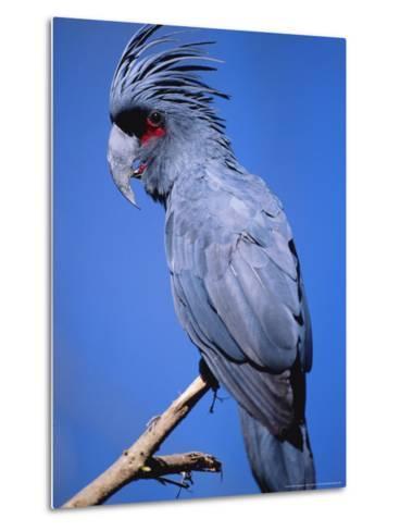 Black Palm Cockatoo, Crest Up, Zoo Animal-Stan Osolinski-Metal Print