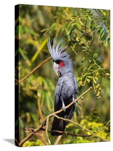 Black Palm Cockatoo, Crest Erect, Zoo Animal-Stan Osolinski-Stretched Canvas Print