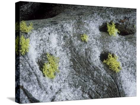 Wolf Lichen, Growing with Snow, USA-Stan Osolinski-Stretched Canvas Print
