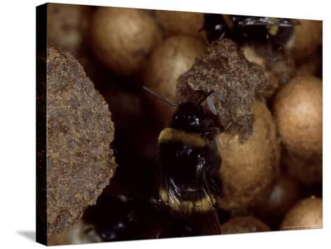 Bumble Bees, Inspecting Eggs in Nest, UK-O'toole Peter-Stretched Canvas Print