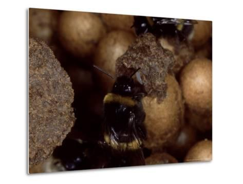 Bumble Bees, Inspecting Eggs in Nest, UK-O'toole Peter-Metal Print