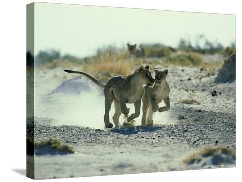 African Lion, Running, Namibia-Richard Packwood-Stretched Canvas Print