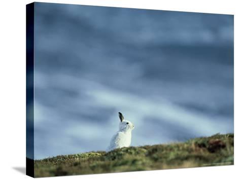Mountain (Blue) Hare, Monadhliath Mtns, Scotland-Richard Packwood-Stretched Canvas Print