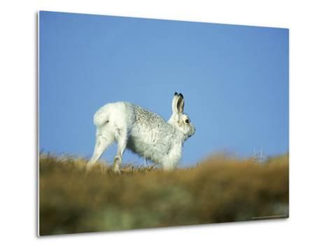 Mountain (Blue) Hare, Monadhliath Mtns, Scotland-Richard Packwood-Metal Print