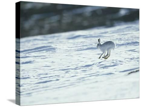 Mountain (Blue) Hare, Monadhliath Mts, Scotland-Richard Packwood-Stretched Canvas Print