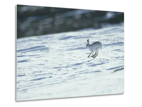 Mountain (Blue) Hare, Monadhliath Mts, Scotland-Richard Packwood-Metal Print
