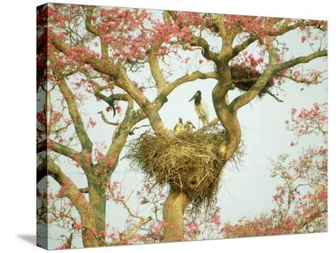 Jabiru Stork at Nest, Brazil-Richard Packwood-Stretched Canvas Print