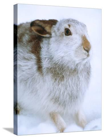 Mountain Hare or Blue Hare, Shows Coat Colour in Late January, Monadhliath Mountains, UK-Richard Packwood-Stretched Canvas Print