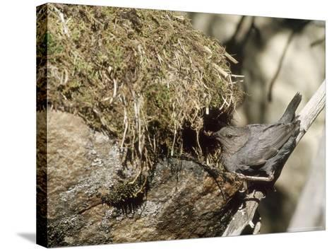 American Dipper at Nest, USA-Mary Plage-Stretched Canvas Print