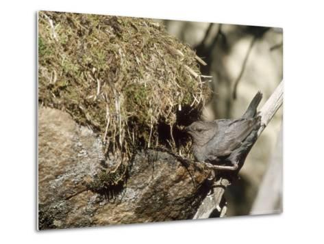 American Dipper at Nest, USA-Mary Plage-Metal Print