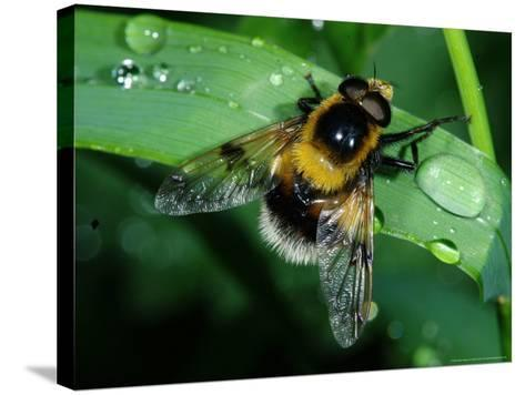 Hoverfly, Adult Resting on Wet Leaf, Cambridgeshire, UK-Keith Porter-Stretched Canvas Print