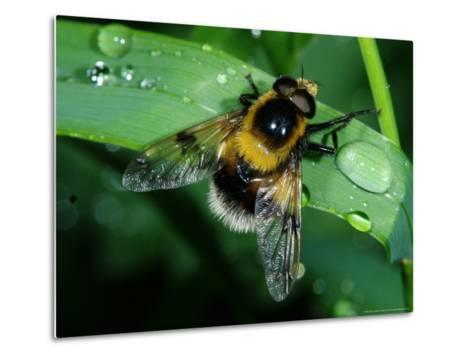 Hoverfly, Adult Resting on Wet Leaf, Cambridgeshire, UK-Keith Porter-Metal Print