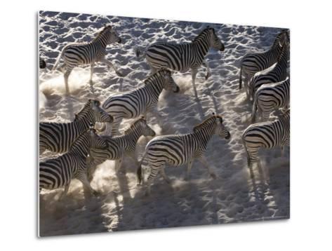 Burchells Zebra, Group Running, Botswana-Mike Powles-Metal Print