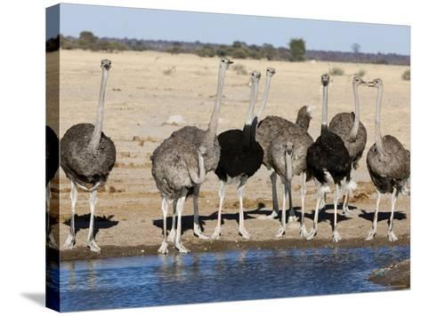 Ostrich, Male and Females Drinking, Botswana-Mike Powles-Stretched Canvas Print