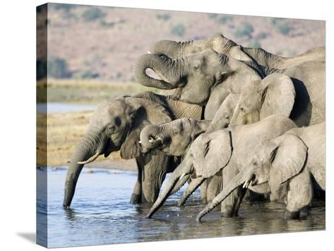 African Elephant, Family Drinking, Botswana-Mike Powles-Stretched Canvas Print