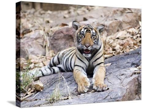 Bengal Tiger, 10 Month Old Cub, India-Mike Powles-Stretched Canvas Print