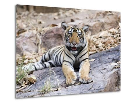 Bengal Tiger, 10 Month Old Cub, India-Mike Powles-Metal Print