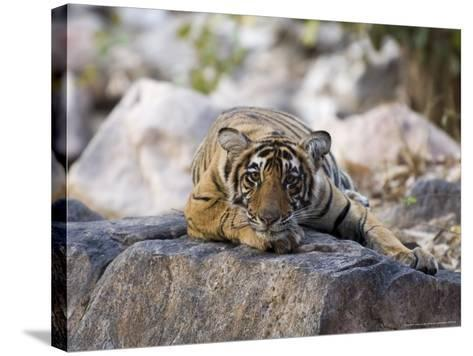 Bengal Tiger, 10 Month Old Cub Lying, India-Mike Powles-Stretched Canvas Print