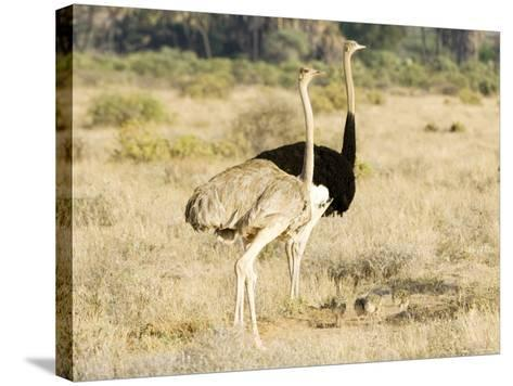 Ostrich, Male and Female with Chicks, Kenya-Mike Powles-Stretched Canvas Print
