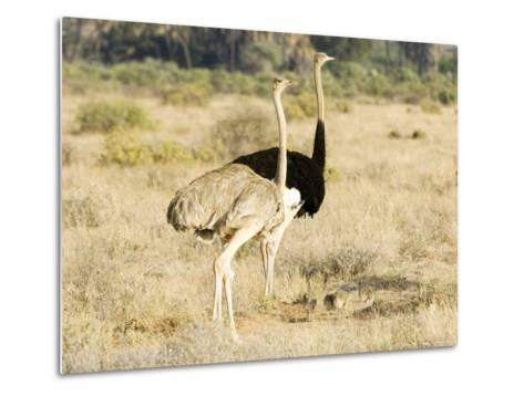 Ostrich, Male and Female with Chicks, Kenya-Mike Powles-Metal Print
