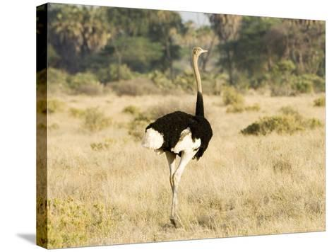 Ostrich, Male, Kenya-Mike Powles-Stretched Canvas Print