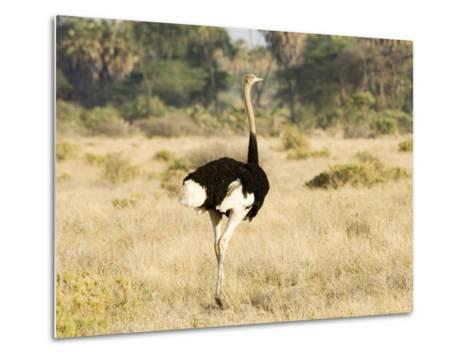 Ostrich, Male, Kenya-Mike Powles-Metal Print