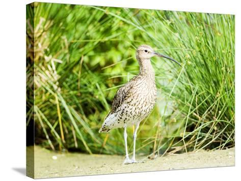 Curlew, Adult, UK-Mike Powles-Stretched Canvas Print