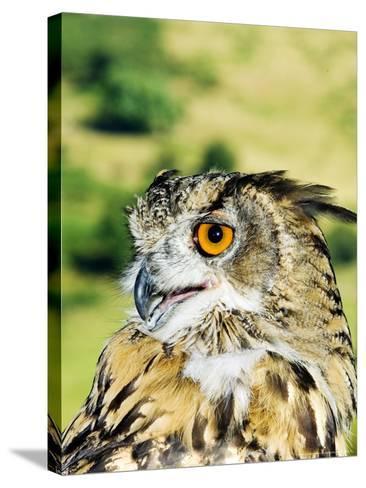Eagle Owl, Portrait of Captive Adult, UK-Mike Powles-Stretched Canvas Print