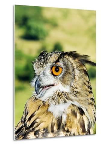 Eagle Owl, Portrait of Captive Adult, UK-Mike Powles-Metal Print