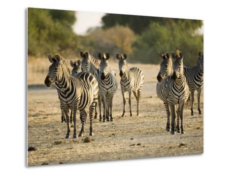 Crawshays Zebra, Small Group in Bush, Tanzania-Mike Powles-Metal Print