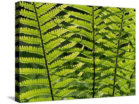 Male Fern, Inverness-Shire-Iain Sarjeant-Stretched Canvas Print