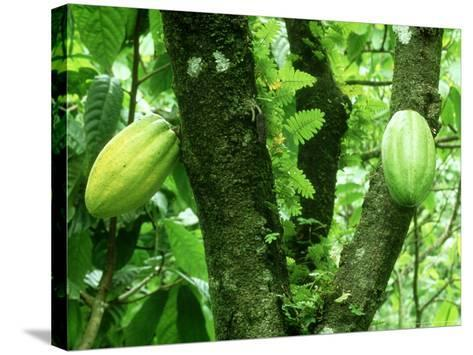 Cocoa, Pods in a Plantation, Tobago-Alastair Shay-Stretched Canvas Print