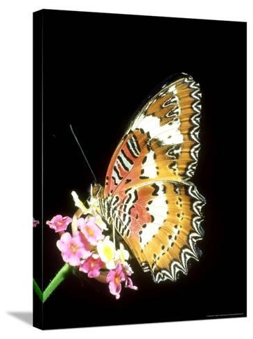 Lacewing Butterfly, Cethosia Biblis-Mike Slater-Stretched Canvas Print