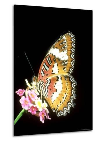 Lacewing Butterfly, Cethosia Biblis-Mike Slater-Metal Print