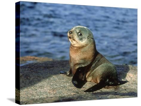 New Zealand Fur Seal, Arctocephalus Forsteri South Australia-Gerard Soury-Stretched Canvas Print