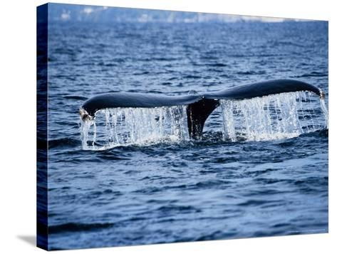 Humpback Whale, Raising Flukes, Mexico-Gerard Soury-Stretched Canvas Print