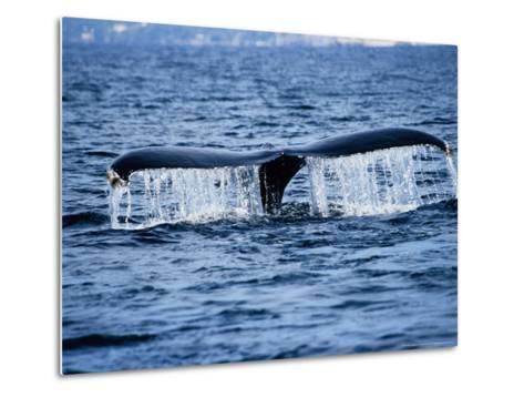 Humpback Whale, Raising Flukes, Mexico-Gerard Soury-Metal Print