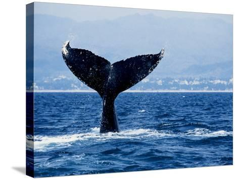 Humpback Whale, Raising Flukes-Gerard Soury-Stretched Canvas Print