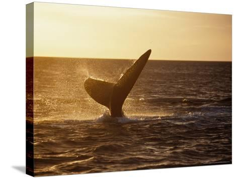 Southern Right Whale, Fluke at Sunset, Valdes Penin-Gerard Soury-Stretched Canvas Print