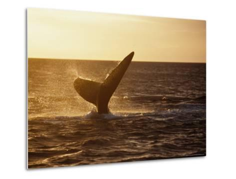 Southern Right Whale, Fluke at Sunset, Valdes Penin-Gerard Soury-Metal Print